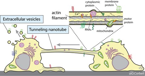 Stem and progenitor cells communicate with each other and their microenvironment either through the release of extracellular vesicles containing the Prominin-1 stem cell marker or through the exchange of this marker by the formation of tunneling nanotubes