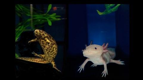 Molch und Axolotl auf dunklem Hintergrund