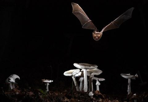 Myotis myotis (Greater mouse-eared bat)