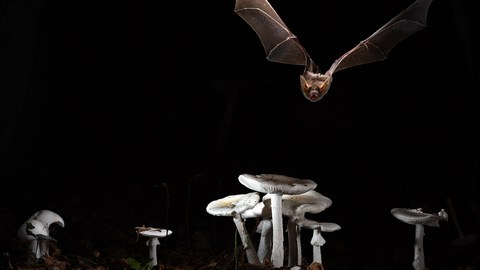Myotis myotis (Greater mouse-eared bat)