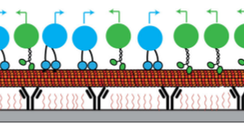 Motor-driven Transport of Intracellular Cargo: Cooperativity and Control