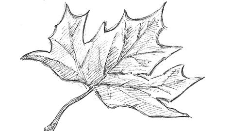 Zeichnung eines Ahornblattes