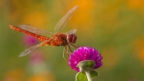 Libelle sitzt auf einer lilafarbenden Blüte