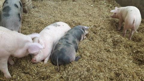 Exkursion Vorwerk Schweine