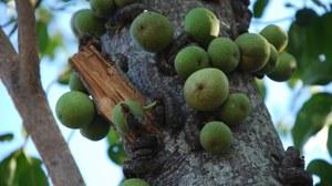 Maulbeerfeige am Baum