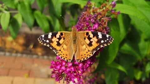 An orange butterfly stops on flowers