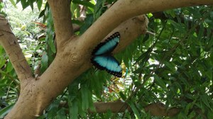 A blue butterfly on the tree