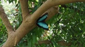 Ein blauer Schmetterling auf dem Baum