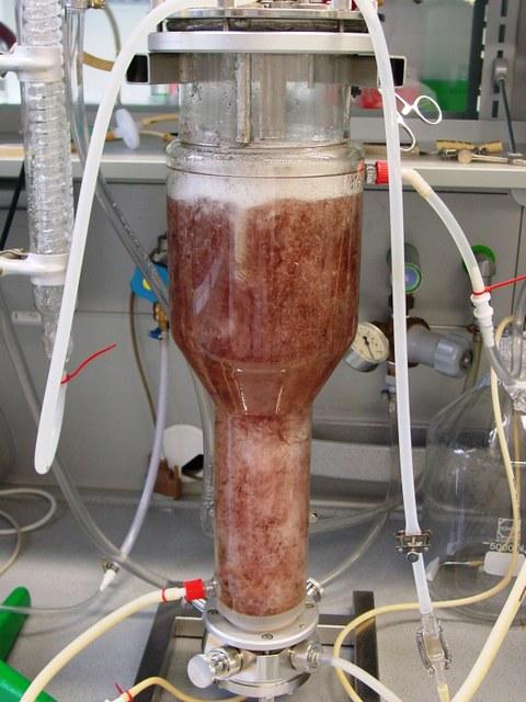 Bubblecolumn/bioreactor with red Hairy roots (Beta vulgaris)