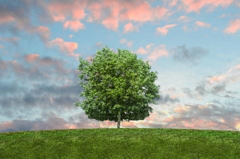 Das Bild zeigt einen allein stehenden, kräftig gewachsenen Baum auf einer grünen Wiese.