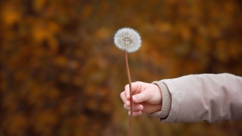 a child's arm is holding a dandelion.