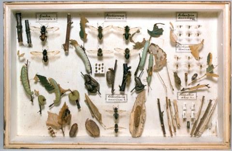 Lehrkasten aus der Insektensammlung von W. Baer, vor 1930 Forstzoologische Sammlungen Tharandt, TU Dresden