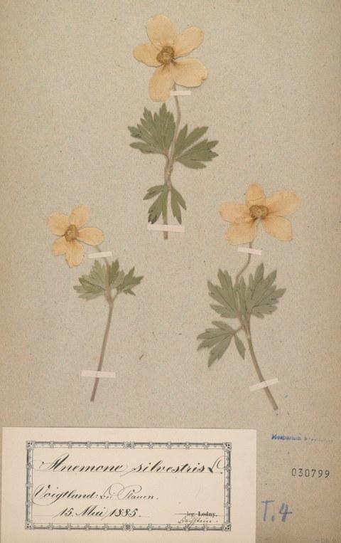 Herbarbeleg des Großen Windröschens (Anemone sylvestris) gesammelt 1885 im Vogtland