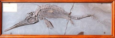 Fischsaurier, Ichthyosaurus quadriscissus, Holzmaden 1905