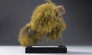 Herbarbeleg der Wolfsflechte (Letharia vulpina), gesammelt um 1950 in Nordamerika