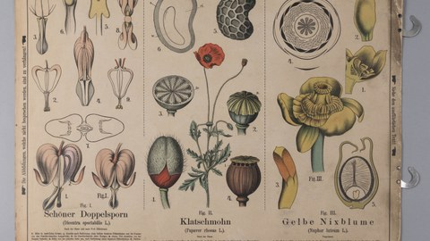 Lehrtafel zur Darstellung einheimischer Pflanzenfamilien, Lithografieanstalt Carl Bollmann, Gera um 1880