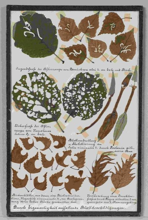 Lehrkasten zum Weidenbohrer (Cossus cossus) als Baumschädling