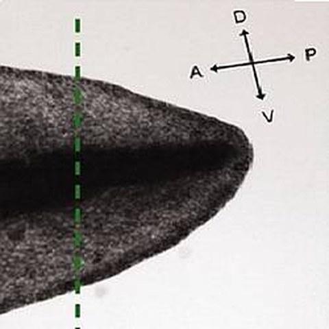 Fig.1 taken from Ozkucur et al, 2010.