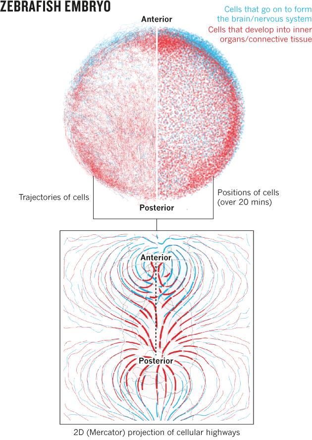 Analyse von Zellmigrationsmustern im Zebrafish-Embryo — Institut für ...