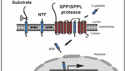 SPP/SPPL protease