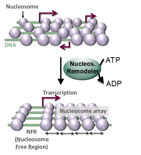 Nukleosomen