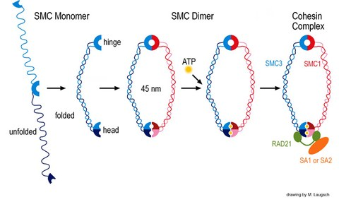 SMC proteins and cohesin