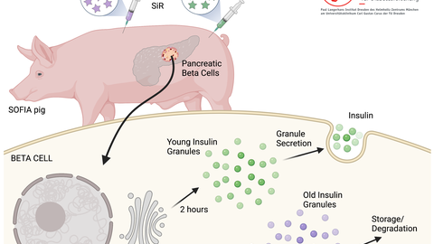 Schematic representation of the new SOFIA pig for age-dependent in vivo labeling of insulin granules.