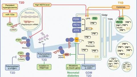 Schematische Darstellung der Insulinproduktion inklusive potenzieller Fehlerquellen.