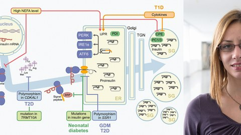 Flussdiagramm Insulinproduktion