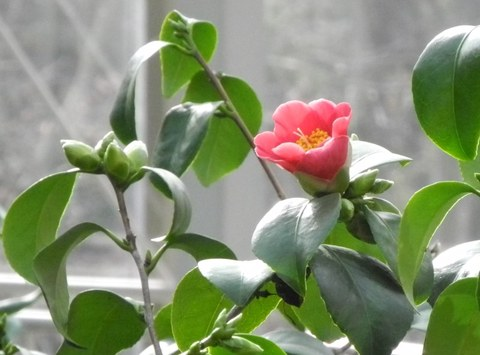 Pillnitz camellia