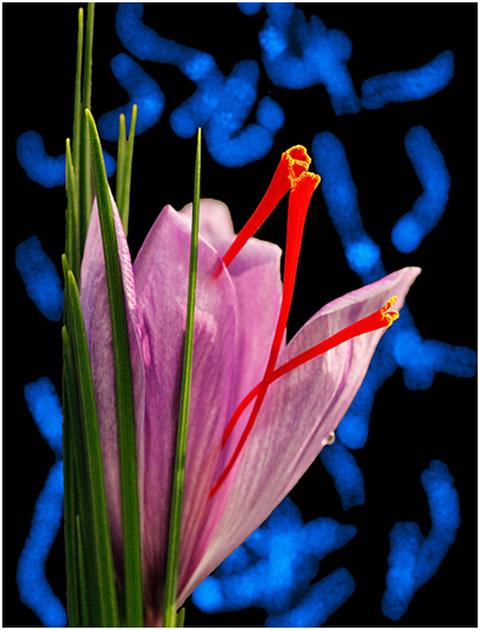 saffron cover