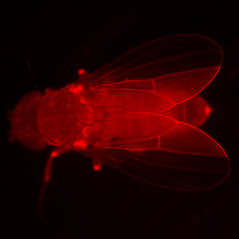 Fluorescence microscopy image of an adult fly. Red fluorescence is only visible in one half of each wing.