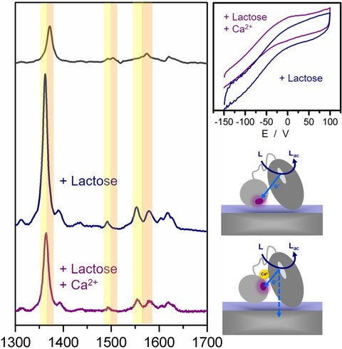 Raman and electrochemical measurements of lactose