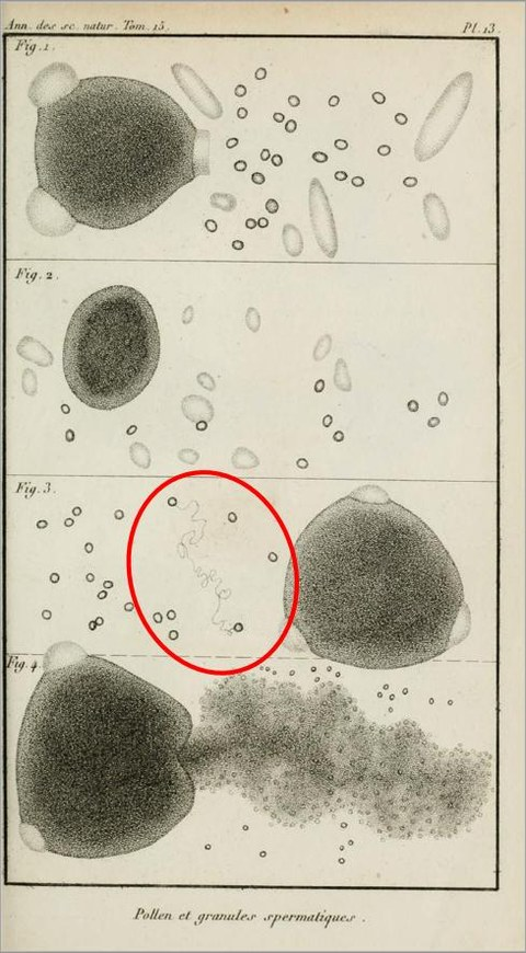 """The observation of a real """"Brownian path"""" due to Brongniart (Annales des Sciences naturelles 15 (1828) 381-401; it pre-dates Robert Brown's paper). The picture shows in 640-fold magnification a pollen grain and its spermatic granules."""