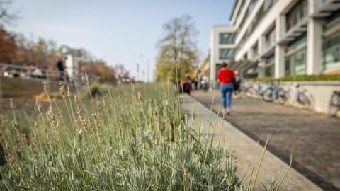 TU-Dresden-Campus, -Lavendelbeet am Aufgangzu einem modernen Gebäude im Herbst