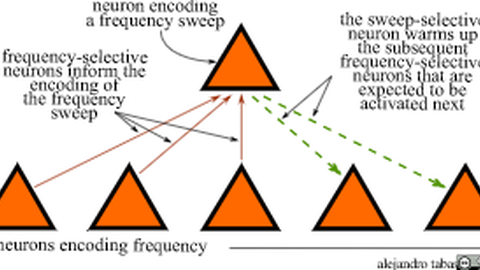1. neuron encoding a frequency sweep 2. the sweep-selective neuron warms up the subsequent 3. frequency-selective neurons that are expected to be activated next frequency-selective neurons inform the encoding of the frequency sweep 4. neurons encoding frequency