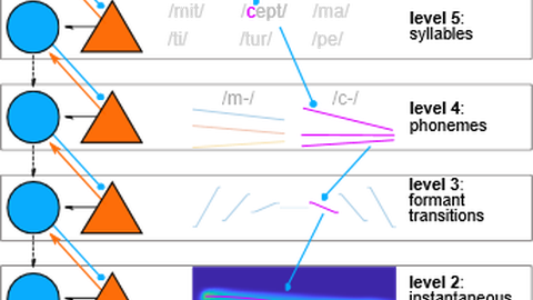 predictions on the sensory input produced in the cerebral cortex may propagate to and be used in subcortical processing stages model of the sensory world predictions prediction tester level 6: words level 5: syllables level 4: phonemes level 3: formant transitions level 2: instantaneous frequency level 1: raw input from the ear