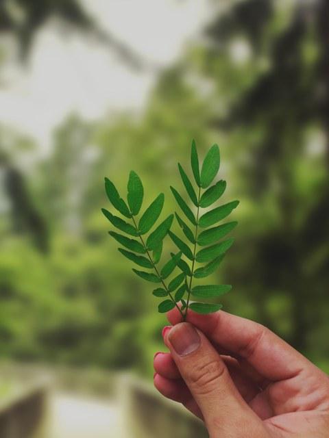 Hand, die zwei grüne Blätter hält