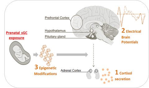 Cortisol impacts the brain