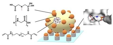 Schema des neuen Glyphosat-Nachweises mit Glyphosat-funktionalisierten Hydrogel-Mikropartikeln und deren spezifischer Bindung an einem oberflächengebundenem Enzym.