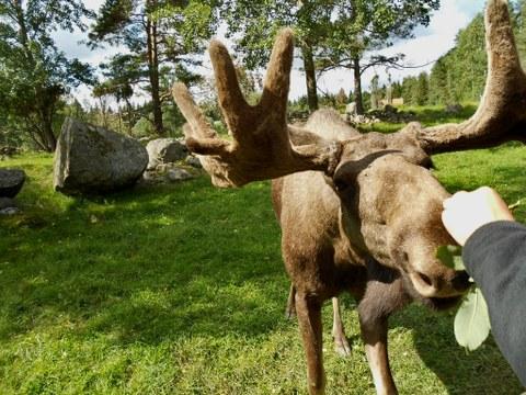 Ein Elch wird von einer Person gefüttert