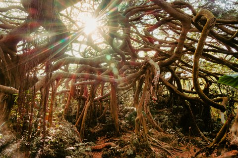 Tangled roots of a giant Banyan tree