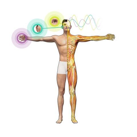 Das Bild zeigt die schematische Darstellung eine Menschen. Auf der rechten Körperseite sieht man schematisch die Muskeln, Knochen und Nervenbahnen. Auf der linken Seite sind Reize (tasten, hören, sehen) mit Symbolen dargestellt.
