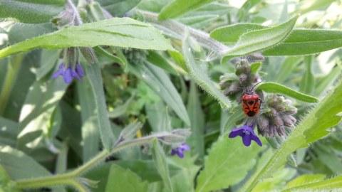 Eine Feuerwanze hängt an der Blüte einer Wiesenblume.