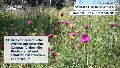 Schmetterlingswiesen an der TU Dresden