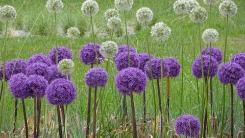 Wiese mit großen Blütenbällen des Zierlauchs in lila und weiß