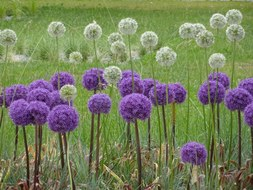 Meadow with large flower balls of leek in purple and white