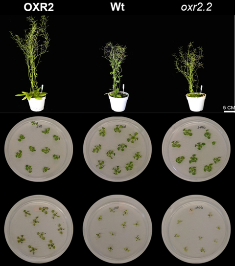 Das Foto zeigt drei Pflanzen und darunter den mikroskopischen Schnitt durch die Stängel.