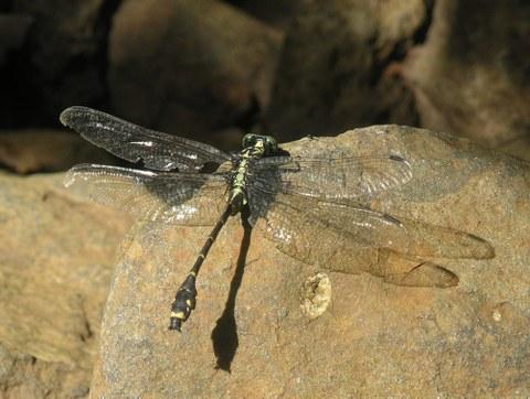 Asiagomphus reinhardti