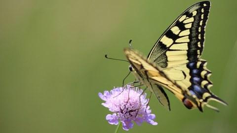 Vor grünem Hintergrund sitzt am rechten Bildrand ein Schwalbenschwanz-Schmetterling auf einer violetten Blüte.